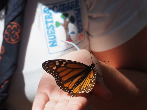 Mariposas Monarca 1